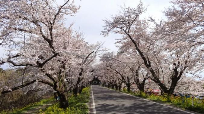 北本自然観察公園南入口の桜並木